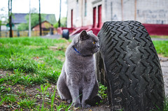 The cat turned away from the camera (ivan_volchek) Tags: adorable animal attractive beautiful beauty breed british cartesiancat cat chartreux cheerful curious cute domestic eye eyes feline fluffy french frolicsome funny fur garden grass gray grayblue green grey happy kitten kitty mammal outdoor pet pets playful portrait scottish shorthair surprised