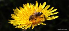 Ape al lavoro - Bee at work (francescociccotti1) Tags: canon100macro macro fiori insetti