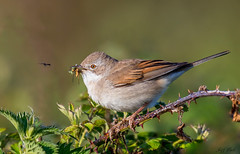 DSC7947  Whitethroat... (Jeff Lack Wildlife&Nature) Tags: whitethroat birds bird avian animal animals wildlife wildbirds wetlands woodlands wildlifephotography jefflackphotography warbler warblers songbirds summermigrant countryside coastline copse glades scrub brambles bushes heathland hedgerows heathlands heaths grasslands gorse nature