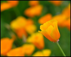 Orange and Green (NickD71) Tags: fuji fujifilm xt1 mirrorless csc fujinon xf1855 snapseed english heritage uk bedfordshire wrest park stately home gardens flower flowers bright bloom orange dof bokeh