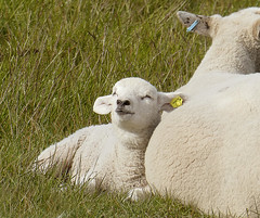 Enjoying life (cats_in_blue) Tags: sheep lamb rømø s smiling