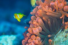 Anemona y Pez Payaso (frogmen1964) Tags: payaso rojo macro diving buceo nemo anemona underwater solitario huir foto fotografía super sunkentreasure award