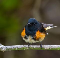 DSC_1088 (doug.metcalfe1) Tags: 2019 americanredstart dougmetcalfe hollandlanding nature nokiidaatrail ontario outdoor spring yorkregion bird