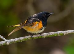 DSC_1087 (doug.metcalfe1) Tags: ontario nature spring outdoor 2019 hollandlanding americanredstart nokiidaatrail dougmetcalfe bird yorkregion
