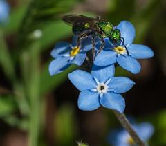 DSC_0914 (doug.metcalfe1) Tags: 2019 cawthramulocknaturereserve dougmetcalfe forgetmenot insect nature ontario outdoor spring yorkregion wildflowers