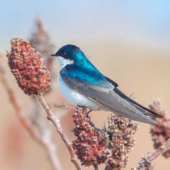 Gotcha (Rainfire Photography) Tags: bird wildlife nature tommythompson treeswallow lesliespit toronto ontario canada nikon d7200