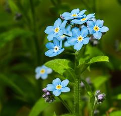 DSC_1052 (doug.metcalfe1) Tags: 2019 cawthramulocknaturereserve dougmetcalfe forgetmenot nature ontario outdoor spring yorkregion wildflowers