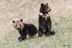 IMG_0013  grizzy bear coys (starc283) Tags: starc283 nature natures finest watcher wildlife flickr flicker forest outdoors outdoor mountains teton tetons grand bear grizzly sow cub coy grizzlycoy grizzlycub