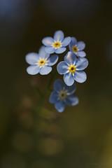 The Little Things (shawn~white) Tags: blue flower macro floral beauty closeup garden spring peaceful dreamy allure elegance myosotis forgetmenots enchanting ef100mmf28macro ©shawnwhite