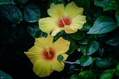 Hoa dâm bụt (Hibiscus) (luongsangit58) Tags: fujifilm flower minolta hoa fujifilmxt10 fuji