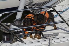 20110612 - 162644 - IMG_5212 - Henriks 7D (Susanne & Henrik Dunér) Tags: dog cane sobaka cobaka perro cão hund chien gou kalb boat båt