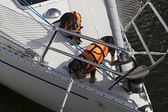 20110612 - 164422 - IMG_5216 - Henriks 7D (Susanne & Henrik Dunér) Tags: dog cane sobaka cobaka perro cão hund chien gou kalb boat båt