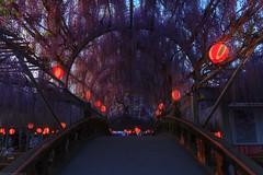 20190418_f22 : 夕暮れの藤 (G-TAKI) Tags: japan fukuoka 日本 福岡 yanagawa 柳川 flower wisteria garden 藤 フジ