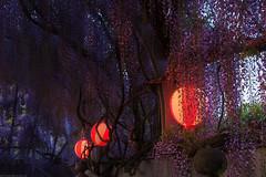 20190418_f21 : 夕暮れの藤 (G-TAKI) Tags: japan fukuoka 日本 福岡 yanagawa 柳川 flower wisteria garden 藤 フジ
