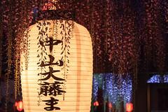 20190418_f24 : 藤ライトアップ (G-TAKI) Tags: japan fukuoka 日本 福岡 yanagawa 柳川 flower wisteria garden 藤 フジ