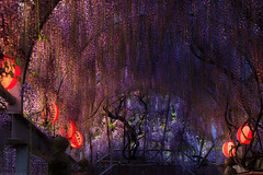 20190418_f20 : 夕暮れの藤 (G-TAKI) Tags: japan fukuoka 日本 福岡 yanagawa 柳川 flower wisteria garden 藤 フジ