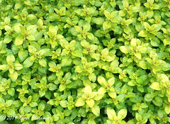May 21st, 2019 Golden Oregano (karenblakeman) Tags: cavershamgarden caversham uk goldenoregano herb 2019 2019pad may reading berkshire