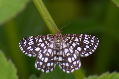 Võrkvaksik; Chiasmia clathrata; Latticed Heath (urmas ojango) Tags: lepidoptera liblikalised insecta insects putukad moth vaksiklased nationalmothweek geometridae võrkvaksik chiasmiaclathrata latticedheath