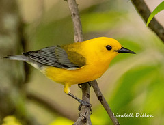 Prothonotary Warbler (Lindell Dillon) Tags: prothonotarywarbler prow neotropical birds birding nature oklahoma wildoklahoma