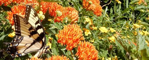 Tiger swallowtail and bonus honeybee on Asclepias tuberosa