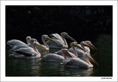 Pelicans (Verma Ruchi) Tags: pelicans whitepelicans water