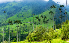 Cocora Valley Wax Palm Trees - Grant Rogers (grant-rogers) Tags: cocora valley colombia quindio mountain south america palm wax nature andes natural national park salento landscape tree herbage flora beautiful green andean high countryside travel cloud forest hills american exotic background plant grass outdoor scenic sunny mountains beauty vegetation valledelcocora