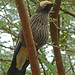 White-crowned Starling Lamprotornis albicapillus horeensis