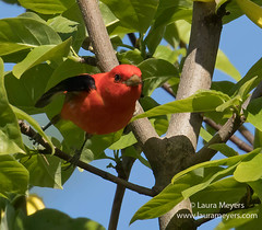 Scarlet Tanager Taking Off (Laura-Meyers) Tags: greenwoodcemetery scarlettanagermale