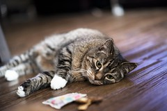 Relaxing with my toys (Christy Turner Photography) Tags: cats cat kitty kitteh meow feline gatto tabby pets