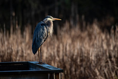 Great Blue Heron Morning (NicoleW0000) Tags: greatblueheron heron wader wadingbird bird blue colour earlymorning morning morninglight wetlands marsh swamp pond habitat cattails bullrush peaceful serenity naturetherapy outdoors
