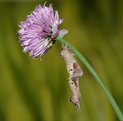 Scarce Chocolate-tip - Clostera anachoreta (Roger Wasley) Tags: scarcechocolatetip moth closteraanachoreta mating pair insect macro rare scare