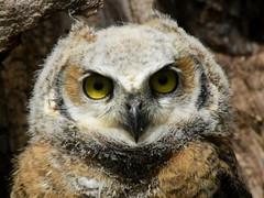 Great Horned Owl, Bubo virginianus, 2 months old (9) (Herman Giethoorn) Tags: greathornedowl birdofprey owl raptor owlet