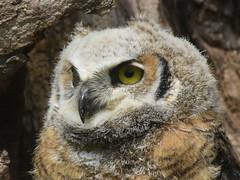 Great Horned Owl, Bubo virginianus, 2 months old (6) (Herman Giethoorn) Tags: greathornedowl birdofprey owl raptor owlet