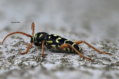 Plagionotus arcuatus (Phil Arachno) Tags: mönchbruch germany hessen eos80d heliconfocus focusstacking cerambycidae bockkäfer coleoptera insecta arthropoda plagionotus