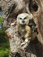 Great Horned Owl, Bubo virginianus, 2 months old (19) (Herman Giethoorn) Tags: raptor bird owl owlet greathornedowl birdofprey