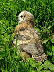 Great Horned Owl, Bubo virginianus, 2 months old (16) (Herman Giethoorn) Tags: greathornedowl birdofprey owl raptor owlet