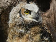 Great Horned Owl, Bubo virginianus, 2 months old (10) (Herman Giethoorn) Tags: greathornedowl birdofprey owl raptor owlet