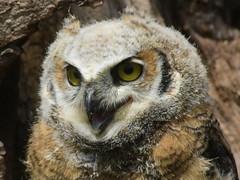 Great Horned Owl, Bubo virginianus, 2 months old (4) (Herman Giethoorn) Tags: greathornedowl birdofprey raptor owl owlet