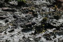 Mönchbruch Anthribidae in bark biotope (Phil Arachno) Tags: mönchbruch germany hessen eos80d heliconfocus focusstacking anthribidae breitrüssler coleoptera käfer arthropoda insecta