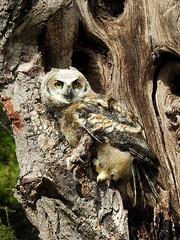 Great Horned Owl, Bubo virginianus, 2 months old (18) (Herman Giethoorn) Tags: greathornedowl birdofprey raptor owl owlet