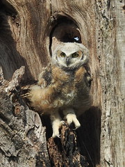 Great Horned Owl, Bubo virginianus, 2 months old (14) (Herman Giethoorn) Tags: greathornedowl raptor birdofprey owl owlet