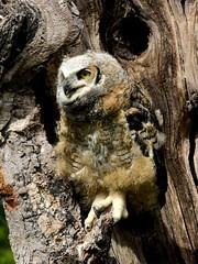 Great Horned Owl, Bubo virginianus, 2 months old (12) (Herman Giethoorn) Tags: greathornedowl birdofprey owl raptor owlet