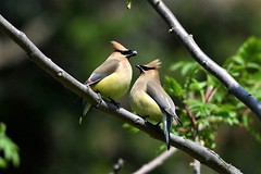 Cedar Waxwings (Photos By JM) Tags: highpark nature birds waxwings