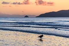 Oyster Catcher on Waikanae Beach (David Hamments) Tags: bird sunsetwalk oystercatcher nz waikanaebeach reflection