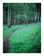 Touch of Blue 2 (gerainte1) Tags: mamiyarz67pro11 velvia50 film colour woodland spring flowers bluebells trees yorkshire