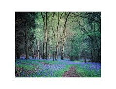 Touch of Blue 3 (gerainte1) Tags: bluebells flowers trees woodland spring colour film velvia50 mamiyarz67pro11
