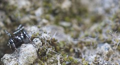 °. Araignée Sauteuse marron .° (LiliFlora11) Tags: araignée sauteuse salticidae macro aracnide