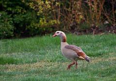 Egyptian Goose (Alopochen aegyptiaca) (Kremlken) Tags: england water birds geese birding parks waterfowl birdwatching alopochenaegyptiaca nikon500