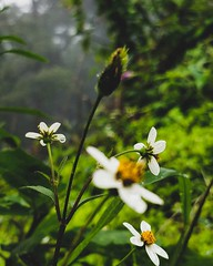 Raindrops (shresthadey07) Tags: raindrops flora flower flowerchild droplets hillstation kerala munnar india flickr flickrdaily fotd travel travelislife traveller travelogue greenery monsoon
