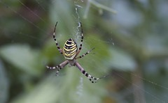 Argiope Frelon (LiliFlora11) Tags: araignée argiope frelon jaune noire rayure aracnide macro nature